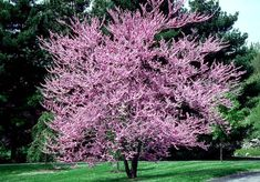 Eastern Redbud Care