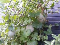 """Hanging Cantaloupe We like to experiment in the garden. This year, we made an arch from some old metal fencing and planted cantaloupe and honeydew at the edges. We pulled the vines over the arch and the melons hung down - it reminded me of disco balls. I thought for sure that the melons were going to fall as they got bigger, but they turned out great! The best part is they did not have that rotted """"soft spot"""" from laying on the ground! What a fun way to grow melons! :O)"""