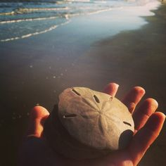 Sand Dollars at Hilton Head Island, South Carolina