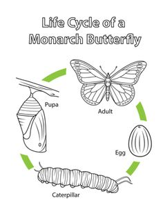 life cycle of a monarch butterfly coloring page - Monarch Caterpillar Coloring Page