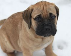 How to Stop Your #Bullmastiff #Puppies Jumping Up: Learning how to stop a puppy from jumping up is something you need to get onto straight away. Puppies jumping up are a very natural thing that they do when they are little – to get attention – and in the wild to get fed by licking the Mother's face to encourage food to be