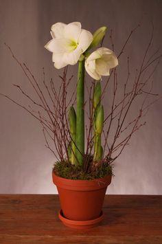 White Amaryllis in Terra Cotta | Westmount Florist Montreal