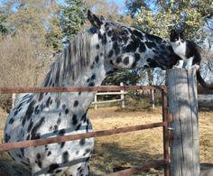 Apache Kid Galahad Stallion - Greenwood Ranch Ghostwind Appaloosa Stallion