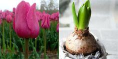 Seguro que todos habéis tenido en vuestro hogar tulipanes, narcisos o jacintos que son las especies más habituales. Es muy sencillo que luzcan en todo su esplendor. ¡Muchos consejos en este post!