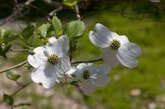 http://floridanature.org/species.asp?species=Cornus_florida