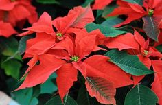 Find help & information on Euphorbia pulcherrima poinsettia from the RHS Hydrangea, Poinsettia Plant, Christmas Plants, Christmas Star, Christmas Cards, Merry Christmas, Types Of Plants, Houseplants, Garden Landscaping