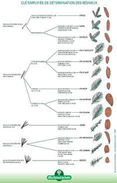 Simplified key for determining hardwoods and conifers