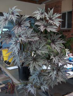 Houseplants That Filter the Air We Breathe Photo Of Rhizomatous Begonia 'Connee Boswell' Uploaded By Vanozzi Tropical Garden, Tropical Plants, Container Plants, Container Gardening, Garden Plants, Indoor Plants, Coleus, Plantas Bonsai, Hydroponic Plants