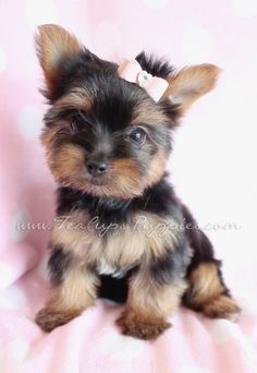 9 Best Yorkies And Yorkie Puppies Images On Pinterest Yorkie