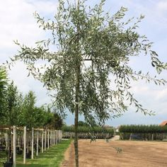 Pyrus, Vineyard, Country Roads, Plants, Outdoor, Flowers, Wicker, Pear, Tree Structure