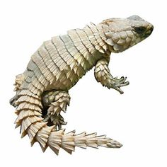 Armadillo Lizard - Cordylus tropidosternum - Galaxy Reptiles