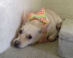 STILL LISTED 4/22/18. Senior dog is devastated after she's surrendered to a shelter.