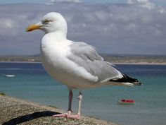 seagull images -Waterfowl.fuzzup