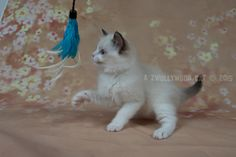 2015: Darcy A Zwollywood Cat. 8 Weeks old. Ragdoll kitten, seal bicolour. Dark world litter.