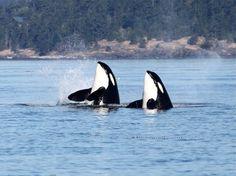 love orca whales