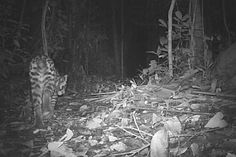 Camera traps capture elusive ocelots in Peru's Madre de Dios
