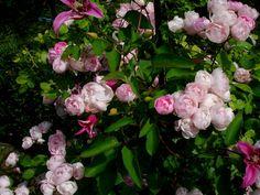 Rosanna und Clematis Princess Diana? - Seite 1 - Rund um die Rose - Mein schöner Garten online