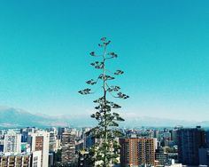 Árbol y Cordillera. -  #Chile #Santiago #travel #instatravel #travelgram #tourism #instago #wanderlust #instatravelling #trip #travelpics #wanderer #travelphoto #travelphotography #aroundtheworld #igers #igerschile #worldtraveler #color #hallazgosemanal