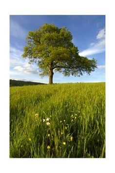 size: Photographic Print: Solitary oak tree stands in field in Surrey by Charles Bowman : Cuisine Poster Prints, Art Prints, Oak Tree, Cool Posters, Cute Funny Animals, Surrey, Find Art, Custom Framing, Framed Artwork