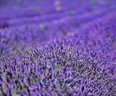 J'adore mon pays et les océans de lavande... L'odeur du bonheur des couleurs plein le cœur... . . #monpays #laprovence #provence #provencefrance #france #family #love #landscapephotography #photography #photographer #photooftheday #naturebeauty #naturalbeauty #voyage #travel #travelgram #traveltheworld #travelphotography #ilovenature #ilovefrance #frenchie #ladrome #colors #purple #lavender #lavende #canon Natural Beauty from BEAUT.E