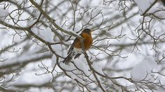 A robin rests amid snow covered branches on a tree on West Governor Drive in Newport News early Thursday morning. (Photo by Adrin Snider / Daily Press)
