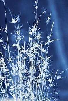 'Cyanotype Native Lemongrass' Photographic Print by Carol Knudsen- Fabric Painting, Fabric Art, Cyanotype Process, Sun Prints, Alternative Photography, Gelli Printing, New Blue, How To Dye Fabric, Art Techniques