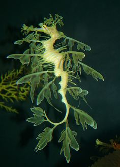 Seahorse evolved leaf camoflage, or rather, this seahorse sp. produced random…