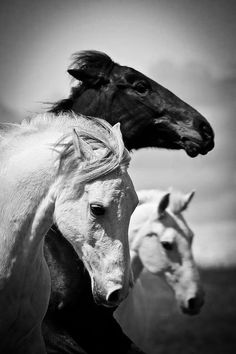 Horses, heste, black and white, beauty, beautiful, gorgeous, b/w