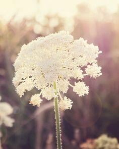 Flower Photo Print Queen Ann's Lace Summer Sun Evening by klgphoto, $33.00