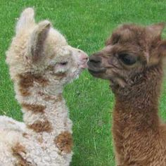 Alley and Zaiden our bottle baby alpaca pets!                                                                                                                                                                                 More