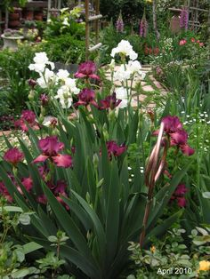 Tall Bearded Irises 'Lady Friend' & 'Frequent Flyer' (white) (Iris germanica)
