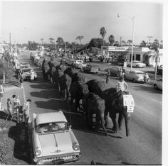 Marching Elephants >>> Ringling Brothers Circus Elephants March Down US 41. Sarasota, FL 1950
