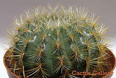 oroya peruviana Cactus Gallery