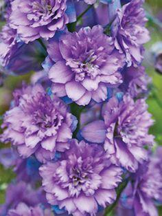 delphinium dressed in purple Delphinium Flowers, Flowers Perennials, Planting Flowers, Delphiniums, Love Flowers, Purple Flowers, Beautiful Flowers, Mauve, Lilac