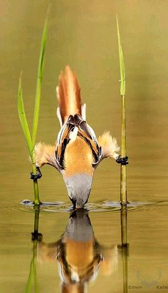 Bearded Reedlings are very acrobatic birds. - title Mission Impossible - by Edwin Kats