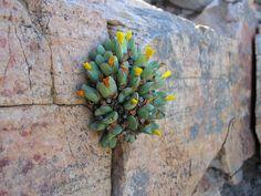 Conophytum bilobum ssp. bilobum var. bilobum, Eksteenfontein