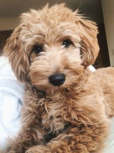 What To Tell Your Groomer To Get That Perfect Doodle Haircut Goldendoodle Haircuts, Dog Haircuts, Cockapoo Haircut, Goldendoodle Grooming, Puppy Grooming, Dog Grooming Styles, Mini Goldendoodle, Poodle Haircut Styles, Puppy Haircut