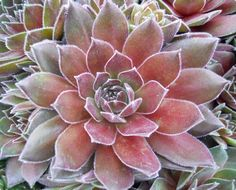 Sempervivum, known commonly as \'Hens & Chicks\' are hardy, rosette-forming succulents of alpine origin. These attractive care-free succulents look fantastic in containers or in cactus and succulent combinations.