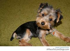 """Marco gets haircuts every 6 weeks, but he's getting a spring """"short"""" haircut tomorrow and I am freaking out. First Haircut, Short Haircut, Yorkshire Terrier For Sale, Yorkie Hairstyles, Dog Haircuts, Yorkie Puppy, Bow Wow, Yorkies, Puppy Love"""