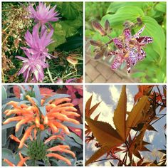A sampling of fall color in the Smithsonian Ripley Garden, clockwise: autumn crocus, toad lily, castor oil plant, & lion's tail. #FeelsLikeFall