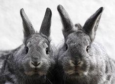 Baby chinchilla rabbits