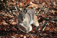 Lynx lynx - autumn in the forest