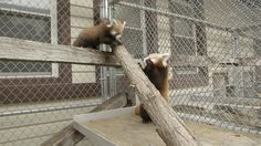 A Happy Ending for Two Rescued Red Panda Cubs | ZooBorns | Photo Credit: Smithsonian's National Zoo