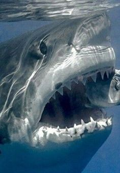 flag of Ocean Simply breathtaking - sea life Shark Pictures, Shark Photos, Underwater Photos, Underwater World, Shark Images, Scary Ocean, National Geographic Photography, Giant Animals, Megalodon