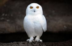 When you see a snowy owl, it's clear how the bird got its name: they're snow-white. As males grow older, they get whiter. The females never ...