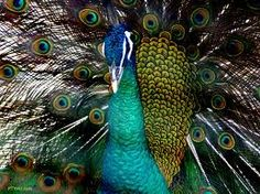 Turquoise Peacock