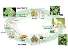 cycle du mildiou vigne