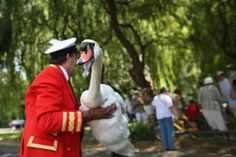 Every July the Queen's baby swans on the Thames River are weighed, measured and banded...and mother swans aren't so keen on the idea