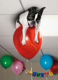 When playing with balloons goes terribly wrong! #bostonterrier