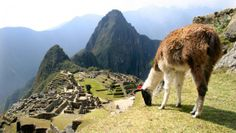 Llama (with Machu Picchu in the background).